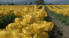 Fields of Tulips In the Springtime On a Flower Farm Stock Footage
