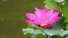 Lotus flowers in pond, xi'an, shaanxi, China - stock footage