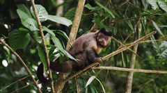Slow moton of a capuchin monkey sitting on a tree branch licking with his Stock Footage