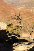 Juniper snag, looking north over the grand canyon Stock Photos