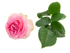 one pink rose bud and green leaves - stock photo
