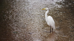 Full body shot of white egret in Rio. Stock Footage