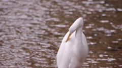 Static shot of white bird drinking water and cleaning itself. Stock Footage