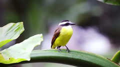 Yellow bellied bird perching on green stem in Rio, Brazil. Stock Footage