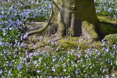 Wild hyacinth or Boshyacint. Stock Photos