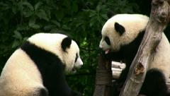 Young pandas playing Stock Footage