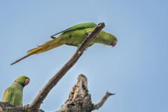 Rose-ringed Parakeet, perched on a tree branch, nature, copy spa Stock Photos