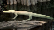 Stock Video Footage of A rare albino American alligator.