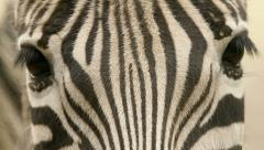 Zebra looking in the camera - stock footage