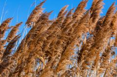 Reed in the wind - stock photo