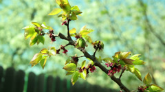 Focus changing on an apricot tree with flowers Stock Footage