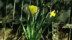 Yellow flower in the garden Stock Footage