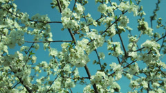 sour cherry tree flowers in the wind - stock footage