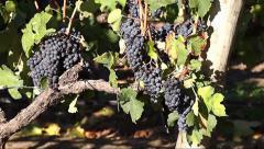 Ripe Grapes on Vine in Setubal, Portugal Stock Footage