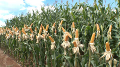 Stock Video Footage of Cornfield Demonstration in Campos Novos, SC