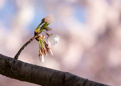 Close up of cherry blossom flowers Stock Photos