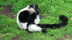 Black-and-white ruffed lemur. Stock Footage