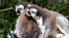 Ring-tailed lemur. Stock Footage