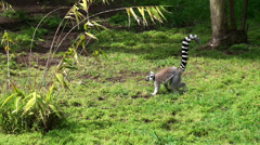 Ring-tailed lemur. - stock footage