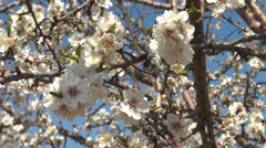 Stock Video Footage of flowering almond