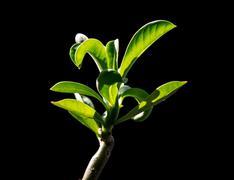 Desert rose (adenium) leaves Stock Photos
