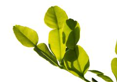 Young kaffir lime leaves Stock Photos