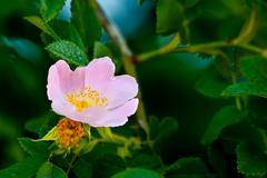 Closeup of a wet pink rose Stock Photos