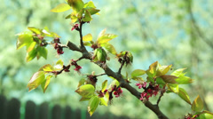 Apricot tree with flowers Stock Footage