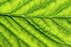 Green leaf vein Stock Photos
