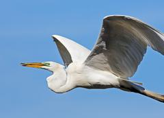 Great Egret Carries Stick - stock photo
