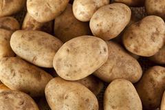 fresh organic whole potato - stock photo