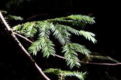 California Redwood Pine Needles Detail Stock Photos