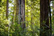 Stock Photo of Sunlit California Sequoia Redwood Pine Trees