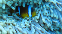 Clown fish swim in anemones, coral reef Stock Footage