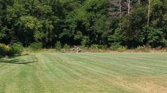 Training miniature greyhounds at dodge park Stock Footage