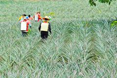 fertilizing pineapple farmers with backpack sprayer - stock photo