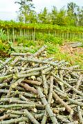 Stock Photo of pile of cassava trunk cutting for the next planting season.