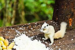 white albino squirrel eating food - stock photo