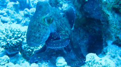 Octopus on coral reef in the Sea in clear blue water Stock Footage