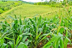 Corn field on the mountain in countryside,thailand Stock Photos