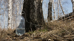 Gathering birch sap Stock Footage