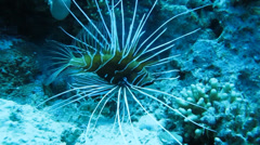fish, lionfish on a coral reef - stock footage