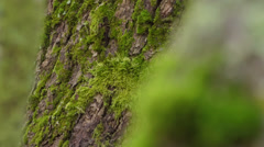 Focus pull between mossy green tree trunks Stock Footage