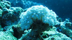 White flowers sea anemones among corals Stock Footage