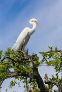 Stock Photo of Great Egret Atop Tree