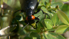 Insect called oil Stock Footage