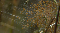 Group of small spiders Argiope Stock Footage