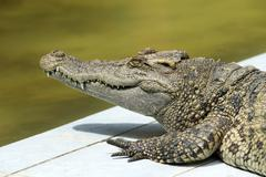 Alligator Stock Photos