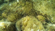 Stock Video Footage of Underwater footage green anemone shrimp corsica corse mediterranean