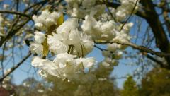 Flowering cherry blossom - with camera move. Stock Footage